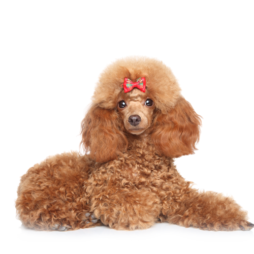 Minature-Poodle