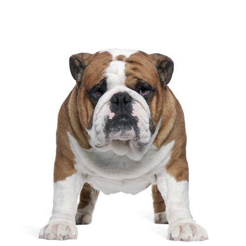 english-bulldog-sire