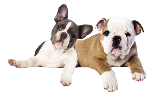 Bulldogs-french-English