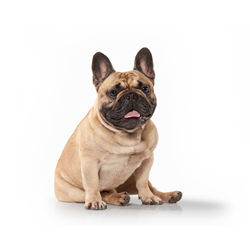 French-Bulldog3