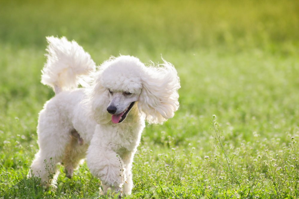 11 Amazing Facts About Poodles