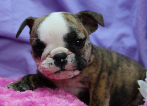 Beatrice English Bulldog Puppy Featured Image