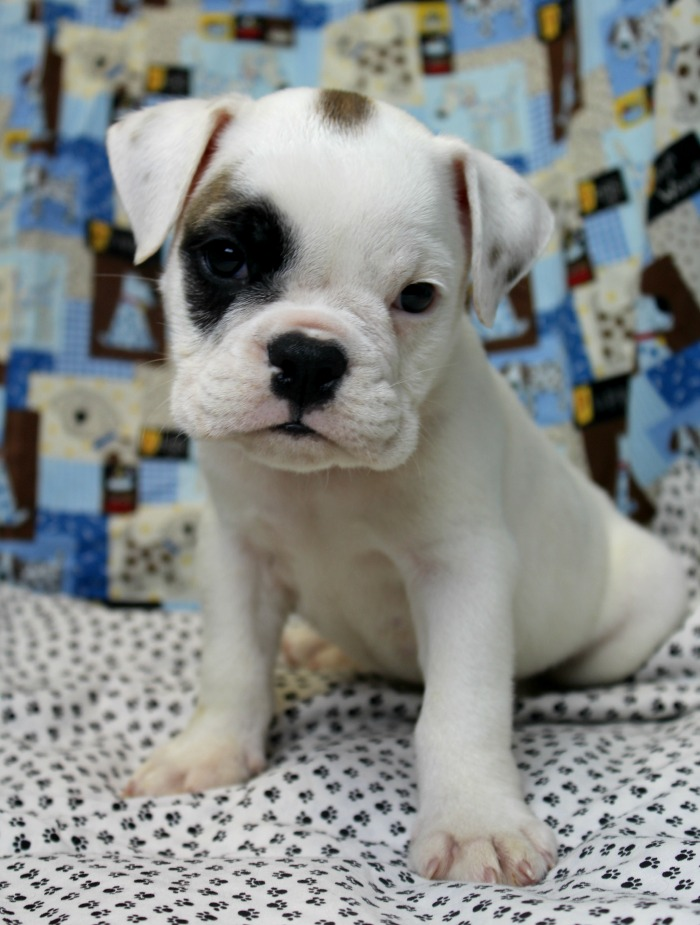 Caleb English Bulldog Puppy for Sale