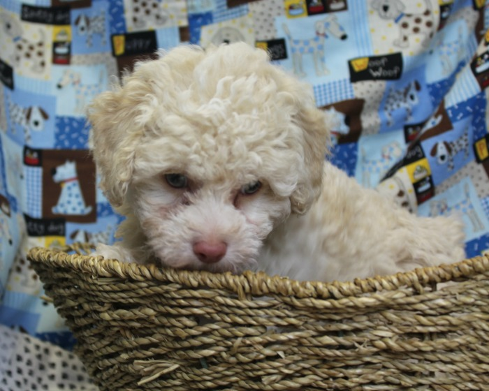 Lenny Mini Poodle Puppy for Sale