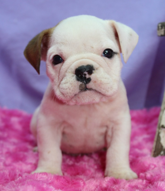 Summer of Puppies: New Puppies for Sale! - Elite Bulldog