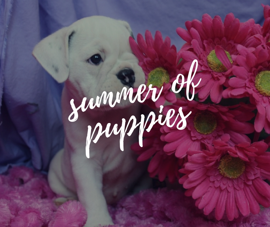 Summer of Puppies Elite Bulldog