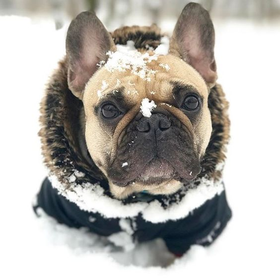 French Bulldog Warm Winter